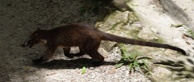 Coati - Living in the forest around the mayan pyramids