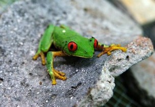 Green Frog On Ancient Mayan Ceramics - Red Eyes - El Mirador - Guatemala