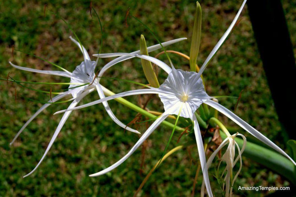 Spider Lily (Hymenocallis) near Tulum