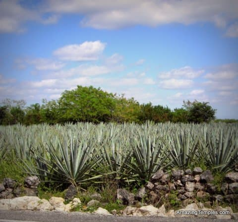 Izamal - heneken fields - this kind of the Agave plant is used for the production of sisal