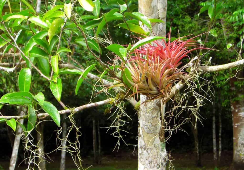 A Tillandsia in Cobá