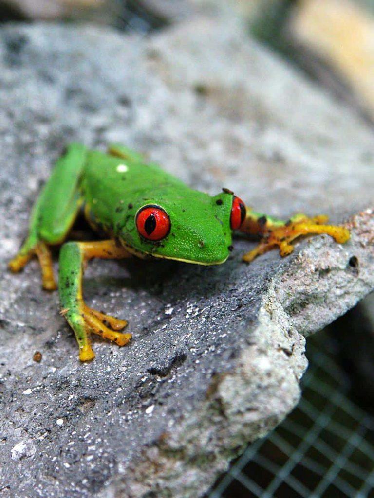 Grüner Frosch auf einer antiken Keramikscherbe der Maya in El Mirador