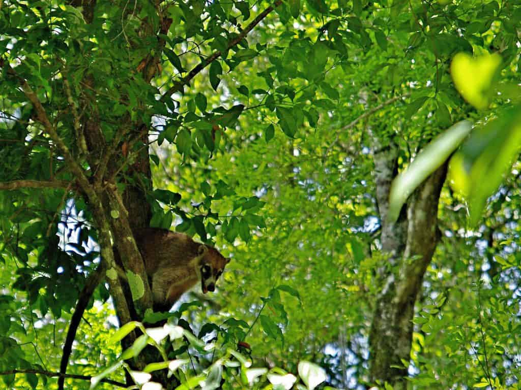 A coati sitting in a tree in Tikal