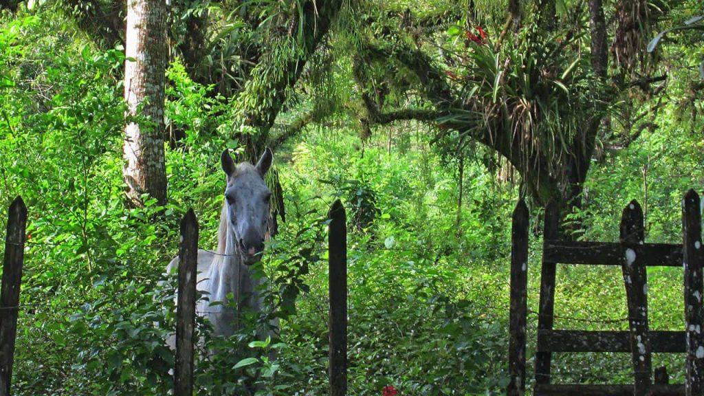 Pferd auf dem Weg zu den Ruinen in Palenque