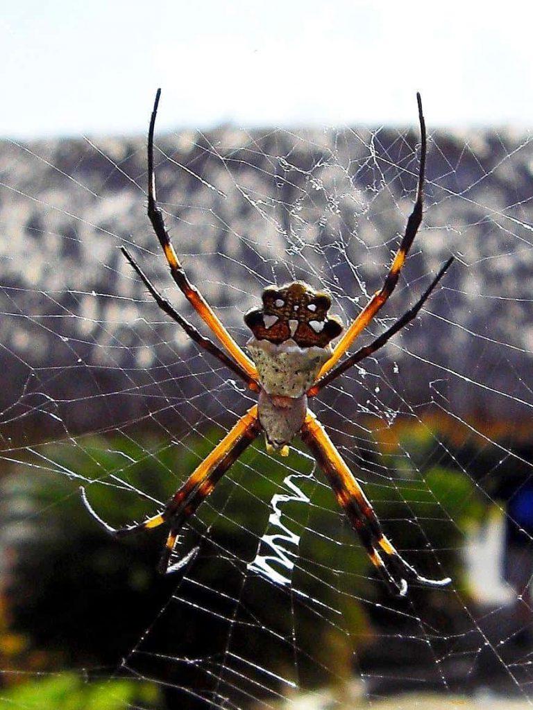 Spinne im Eingangsbereich vo San Gervasio auf Cozumel