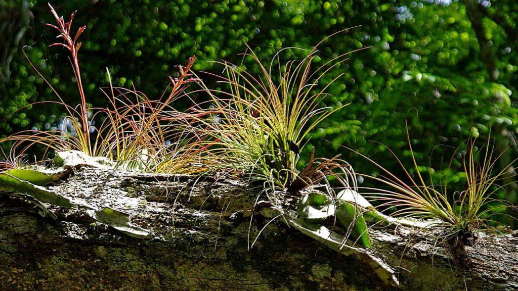 Yaxhá - Baumstamm mit Epiphyten