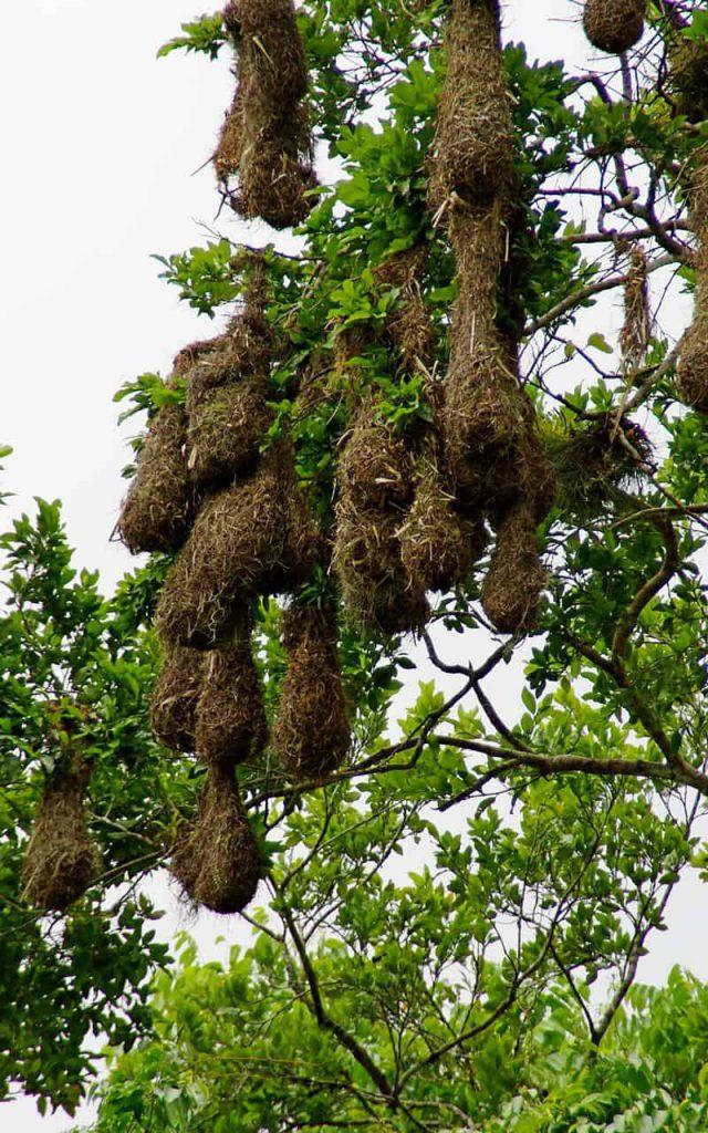 Yaxha - Nests of   Montezuma Oropendola  birds