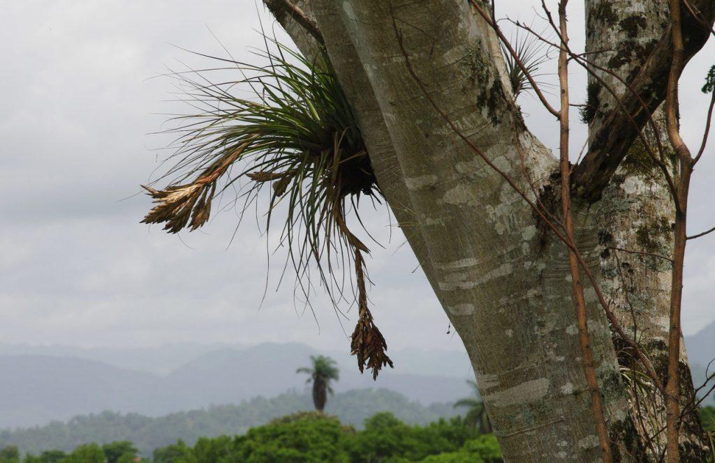 Tillandsien auf einem Baum wachsend - Tonina - Chiapas