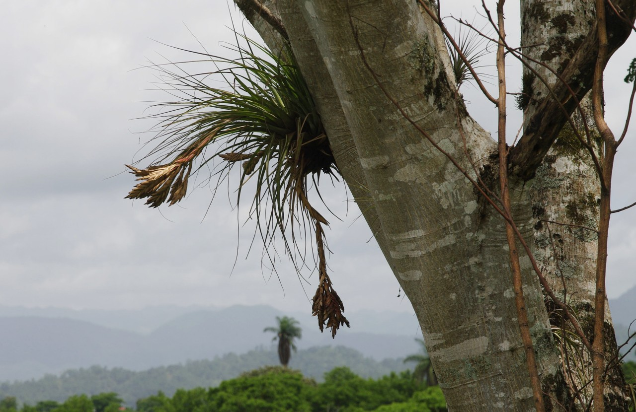 Tillandsia on a tree - Tonina - Chiapas