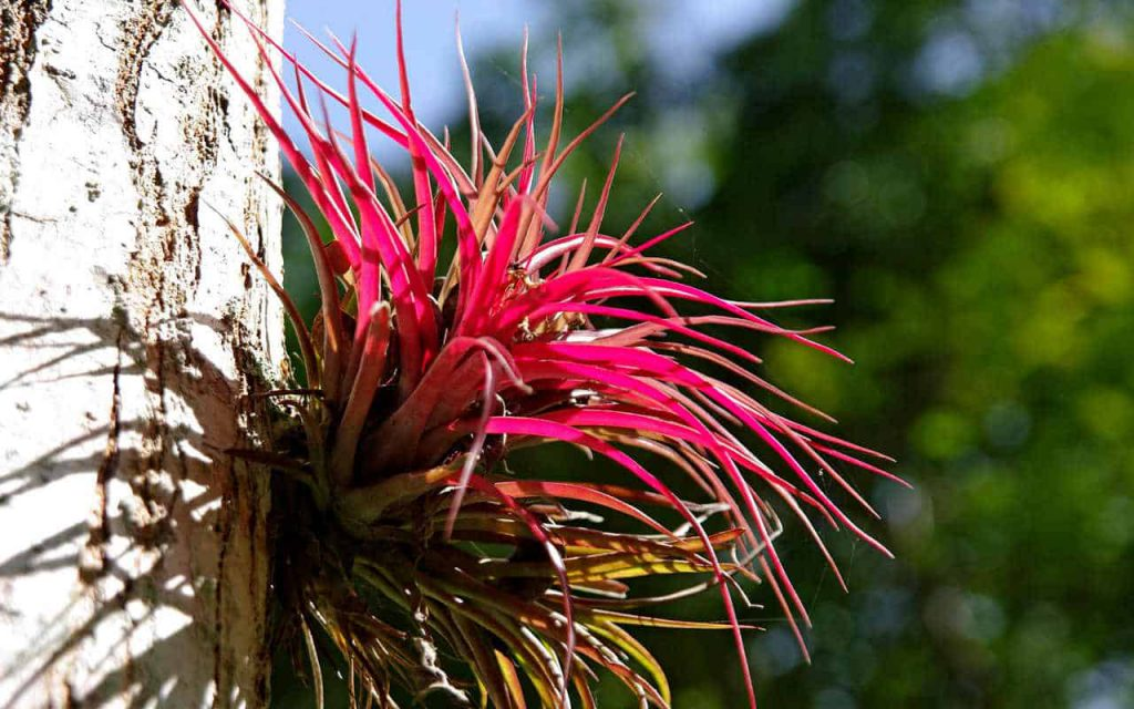 Yaxhá: Red Tillandsia growing at a tree
